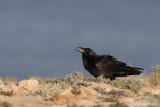 Corvo imperiale- Common Raven (Corvus corax ssp.tinginatus)