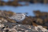 Piovanello tridattilo-Sanderling (Calidris alba)