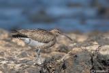 Chiurlo piccolo-Whimbrel  (Numenius phaeopus)