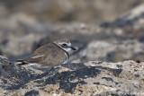 Corriere grosso-Common Ringed Plover  (Charadrius hiaticula)