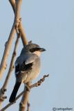 Averla maggiore meridionale- Southern Grey Shrike( Lanius meridionalis ssp. koenigi)