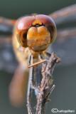 Sympetrum striolatum