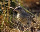 TBB- Tiny Brown Bird