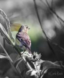 Goldfinch in the Bush