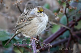 Gold Crowned Sparrow?