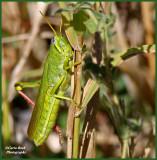 Very Large Grasshopper