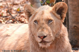 Portrait of a Young Lioness