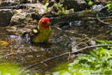 Western Tanager Male 2 05_17_09.jpg