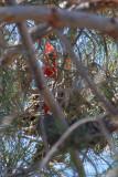 Male Northern Cardinal  A 06_27_10.jpg