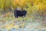 Moose in Willows at Ox Bow 9_24_10.jpg