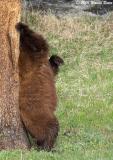 Pole Dancing Bear.jpg