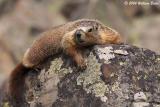 Sheep Eater Marmot.jpg