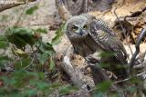 Great Horned Owl 1.jpg
