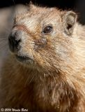 Marmot Head Shot.jpg