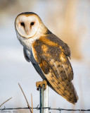 Barn Owl (Tyto alba) 02_15_08.jpg