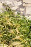 City wheat