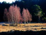 19th January Birch Trees