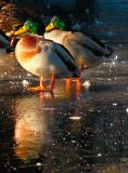 31st January Not Weather for Ducks