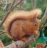 26th February Red Squirrel