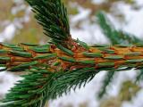 13th March Pine Branch