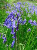 27th May Bluebells
