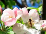 2nd June Hover fly and Apple Blossom