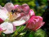 2nd June Bee and Apple Blossom