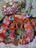 Stareye Hermit Crab with Porcellana sayana