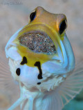 Jawfish w/ Eggs