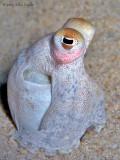 Longarm Octopus