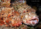 Battling Scorpionfish