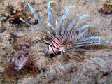 Lionfish & Feather Duster