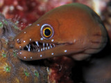 Smiling Chestnut Moray