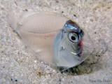 Post Larval Surgeonfish