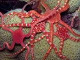 Brittle Stars Spawning