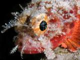 Coral scorpionfish Scorpaena albifimbria