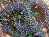 Florida Corallimorph