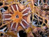 Basket Star Detail
