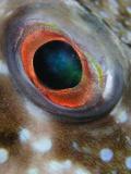 Bandtail Eye