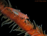 Wire Coral Shrimp