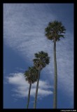 Napier Palms