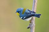 Birds of Louisiana