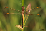 Golden-Winged Skimmer &#9792