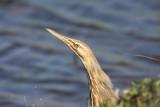 Egrets, Herons, Ibises, Spoonbills and Bitterns
