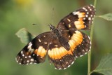 Crescents and Checkerspots