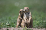 Prairie dogs(Aw, Mom you're so special...)