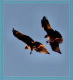 Red Tailed Hawks in the Sunset
