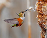 Rufous Hummer and Cattail 1