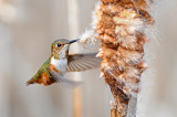 Rufous Hummer and Cattail 2