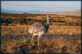 The ostrich-like but much smaller Rhea blends himself very well in the landscape.